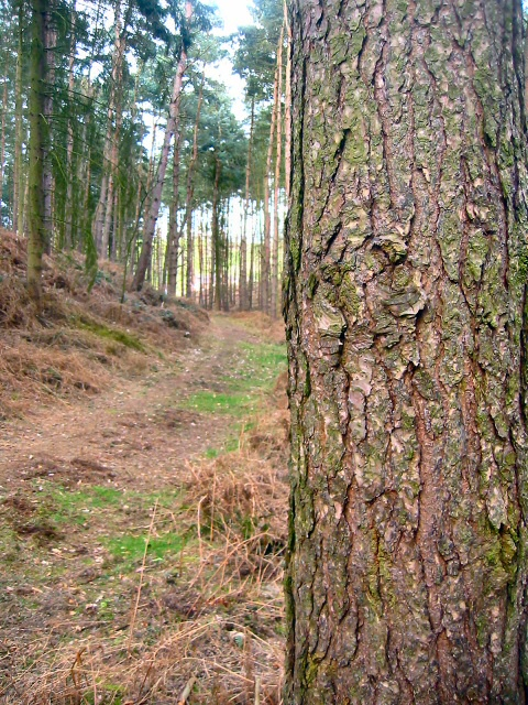 Pine woodland of Moor Close