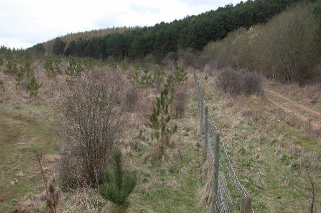 Nayles Larch near Cutsdean