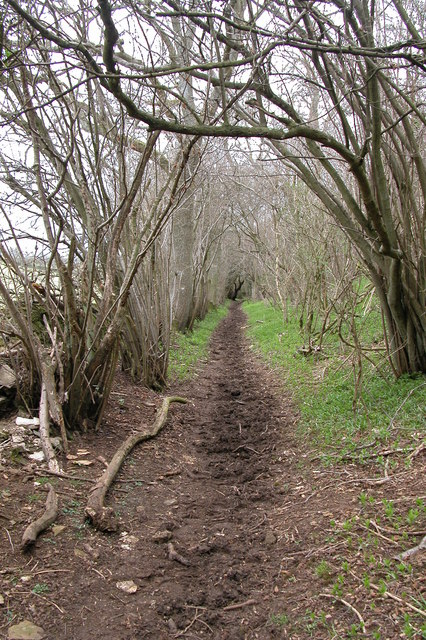 Bridleway through coppiced wood