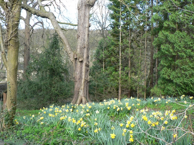 Daffodils in the wood at Stank