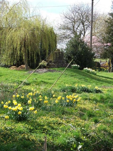 Spring springs & daffodils, Gagingwell