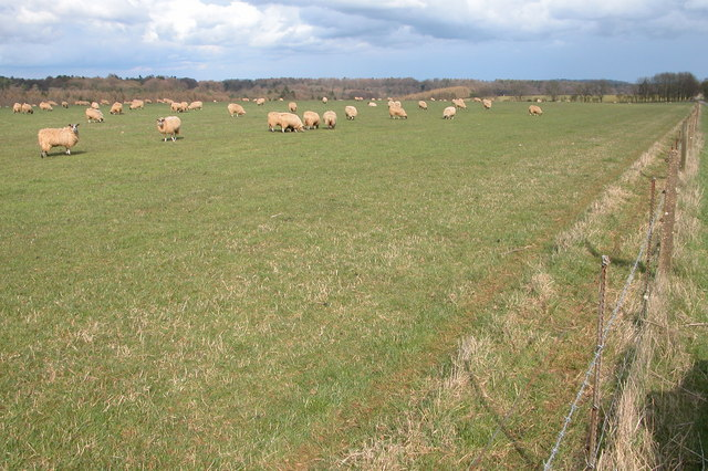 Sheep grazing near Bourness Folly