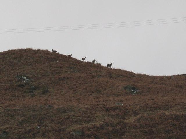Deer in Glen Moriston