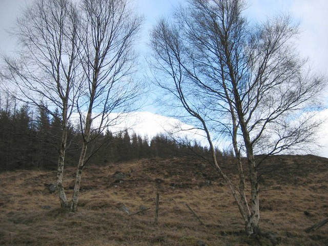 Birch Trees in Glen Moriston