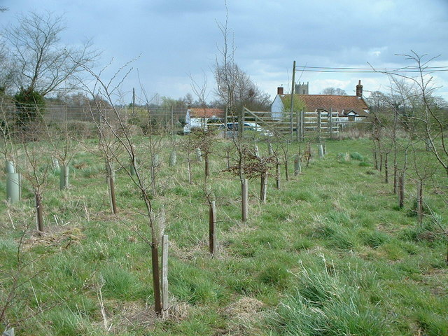 A newly planted Woodland Trust wood in Norfolk.