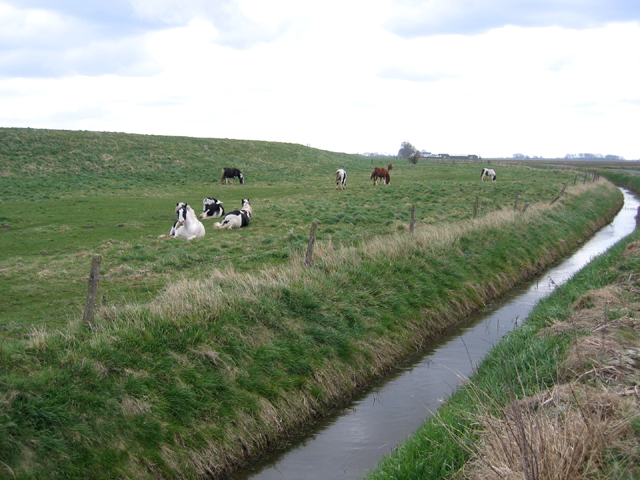 Grazing the river banks, Spalding South Fen, Lincs