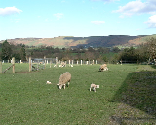 Lambs at Whitcott Farm