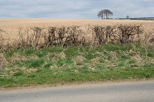 Roadside Hedge and Field
