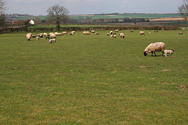 Sheep Grazing near Grange Farm