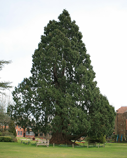 Large conifer in grounds of New Forest District Council