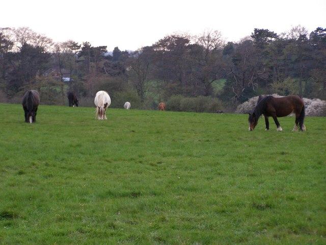 Horses Grazing Baas Hill Broxbourne