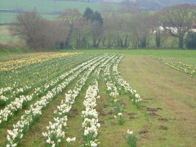 Daffodil field at Westlake Farm