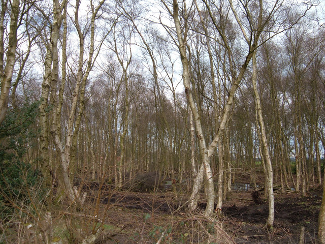 Birch coppice