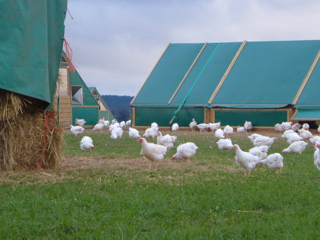Chickens at Shillingford