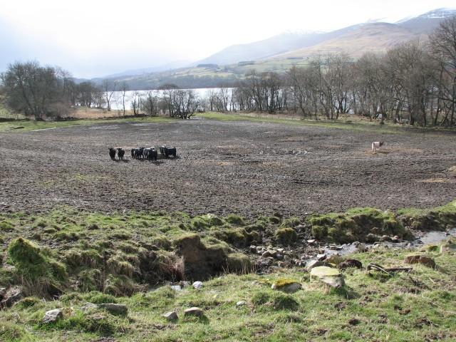 Cow field