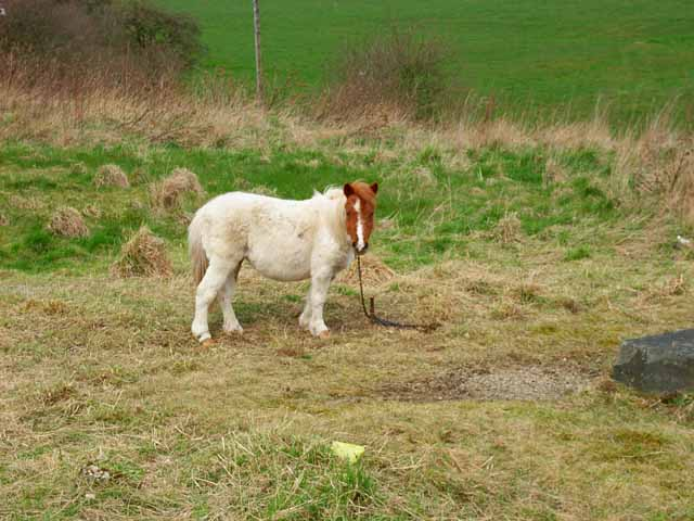A very small pony at East Howle
