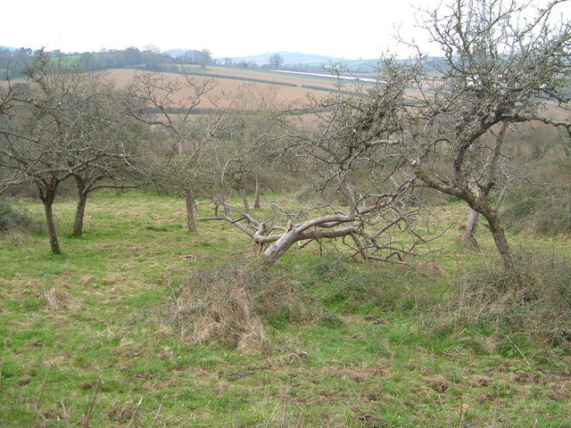 Orchard under Torcorn Hill
