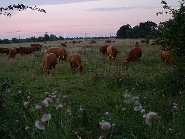 Grazing cattle on rough grassland.