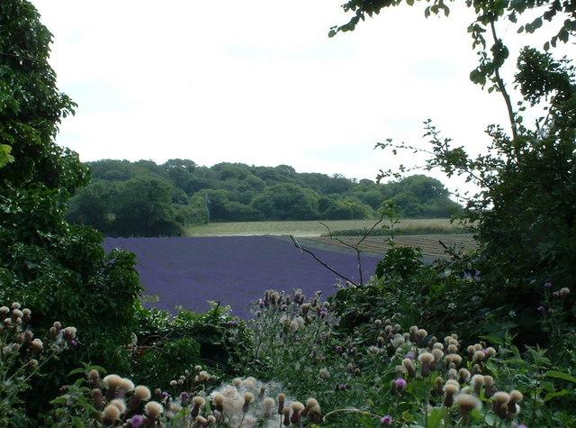 Fields of lavender.