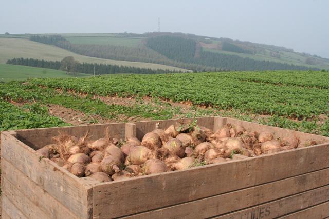 Brompton Ralph: swede crop