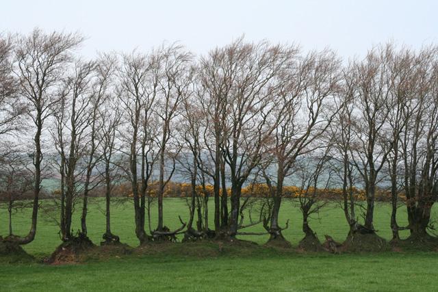 Wiveliscombe: old hedge