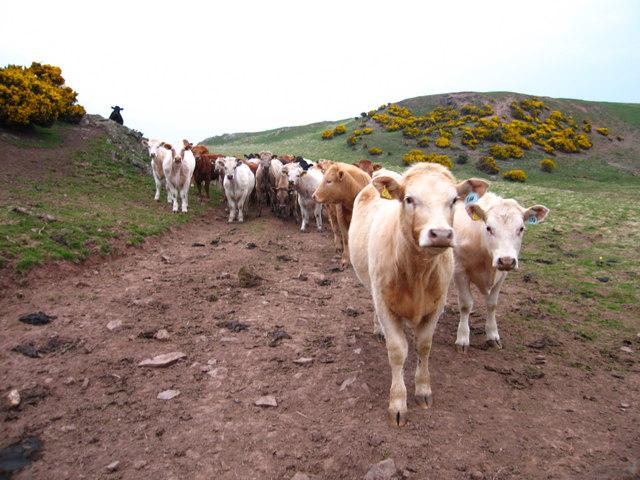 Cows, Old Cambus