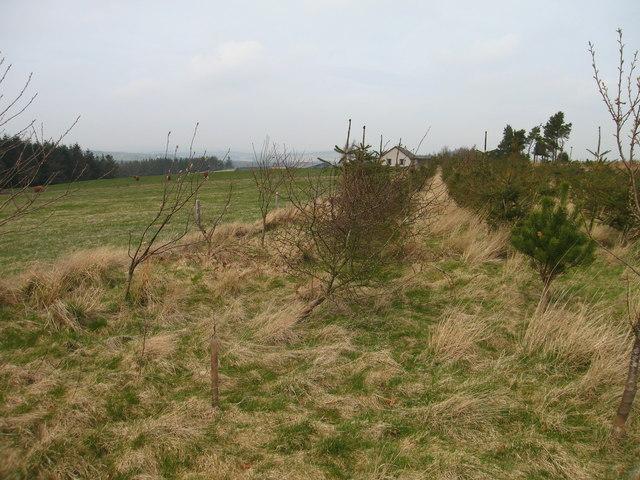New plantation at Drakemyre