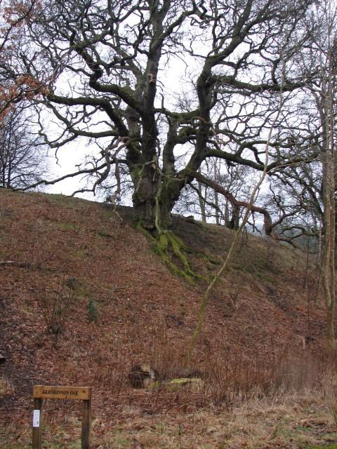 Glenkinnon Oak