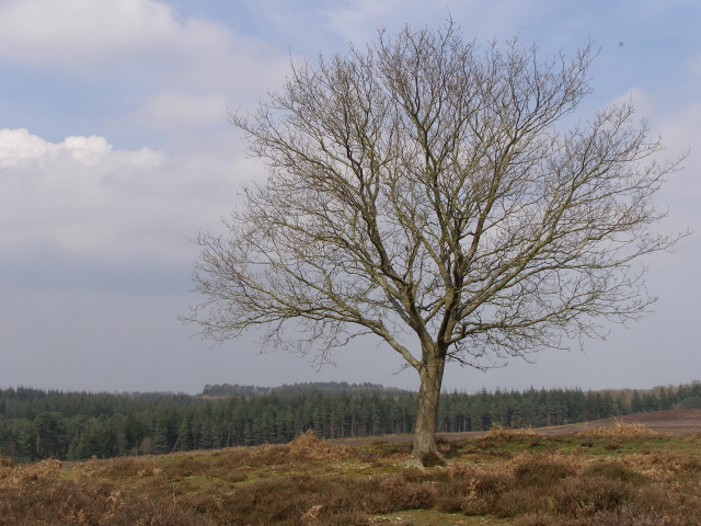 Lone tree northeast of the Hasley Inclosure, New Forest