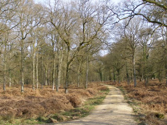 Oak trees in the Sloden Inclosure, New Forest
