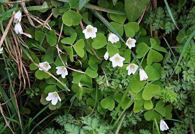 Wood-sorrel - Oxalis acetosella