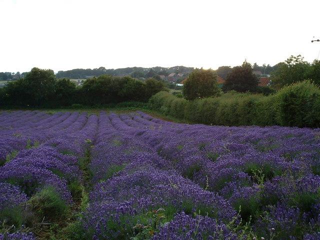 Crop of lavender.