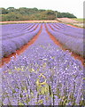 TF6836 : Crop of lavender. by Andy Peacock