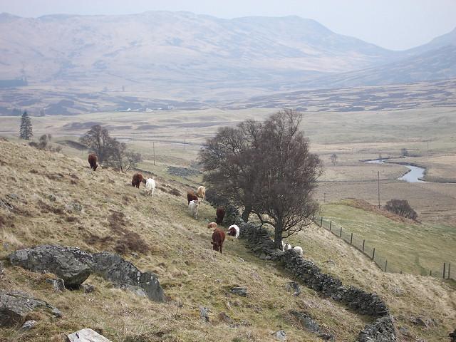 Cattle in Glen Quaich