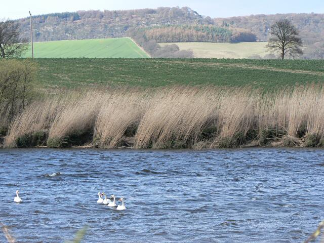 Swans on the River Earn