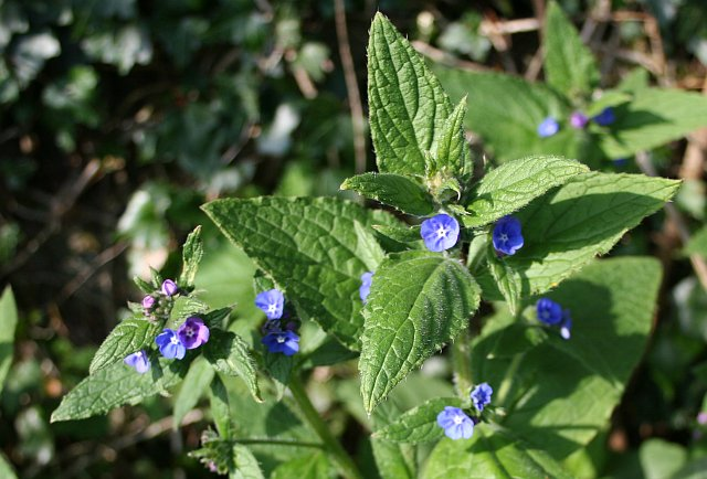 Green Alkanet - Pentaglottis sempervirens