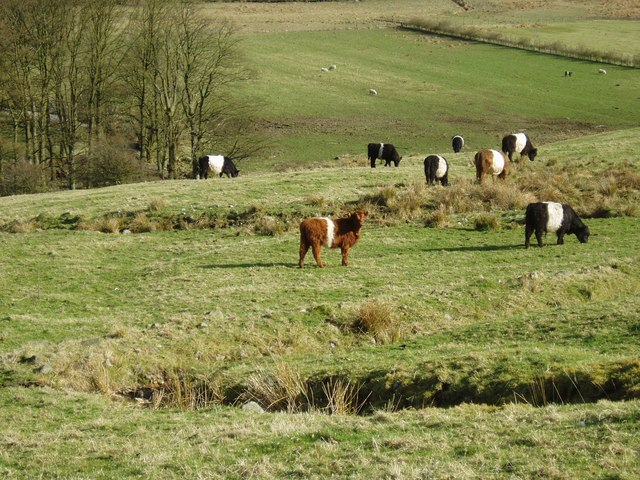 Cattle grazing near Moffat Water