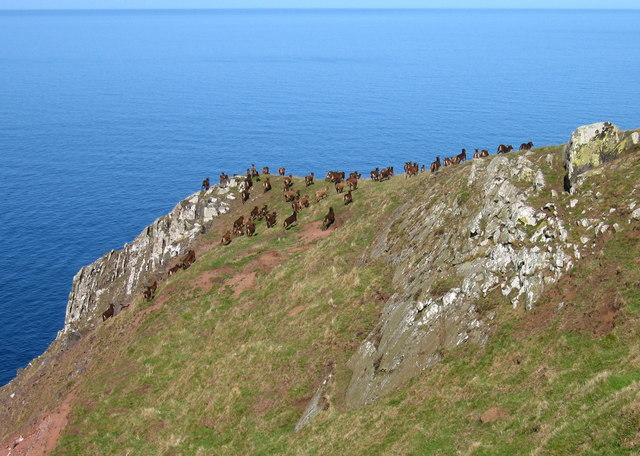 Soay Sheep on the Wheat Stack Headland, near Fast Castle