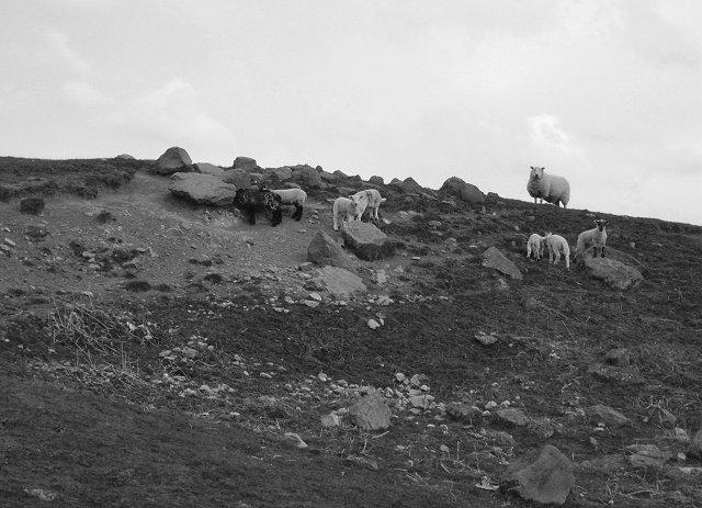 Lambs near Howgate