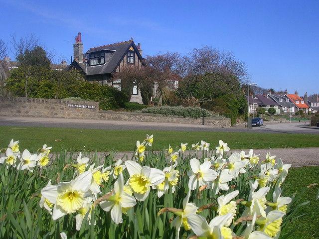 Daffodils on Springfield Road, Aberdeen