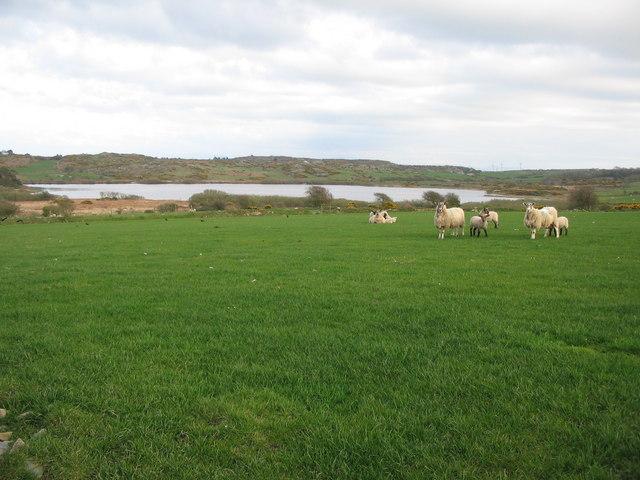 Sheep pasture near Llyn Llygeirian