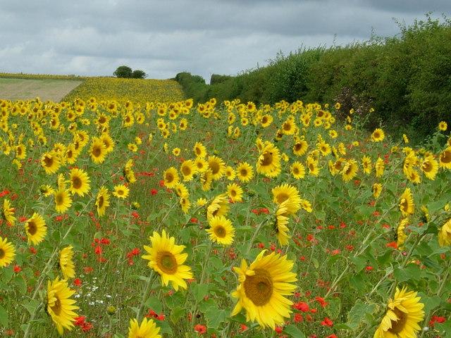 Sunflowers on Row Down