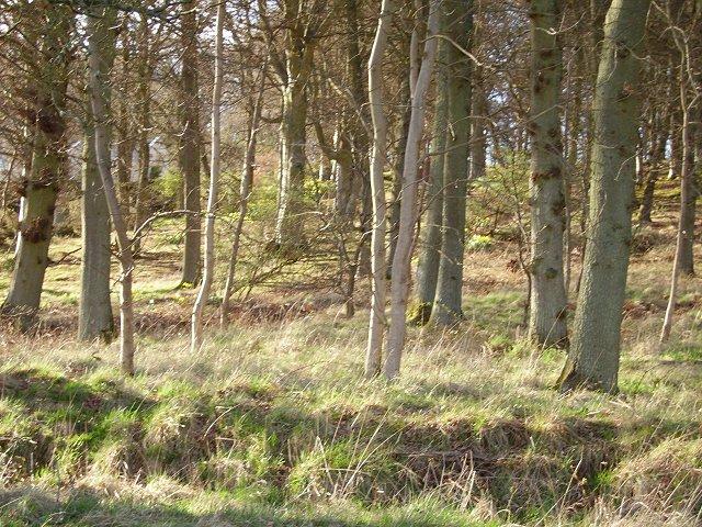Cloag Wood