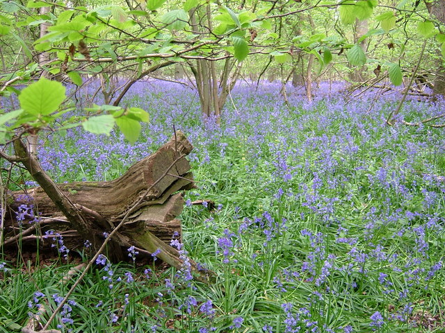 Bluebells in Coldridge Copse, Gt Shefford