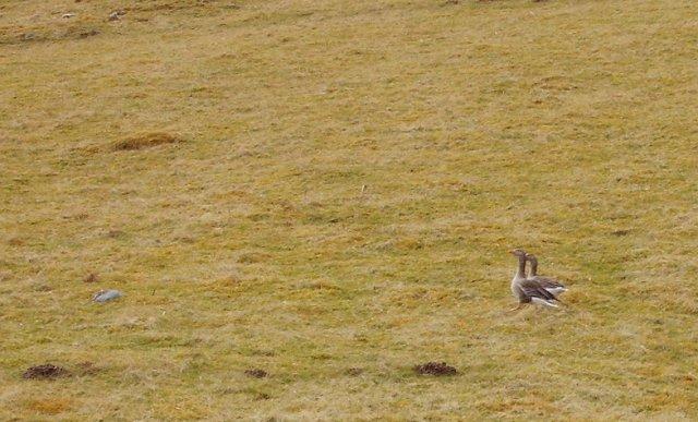 Geese, Litir Mhòr