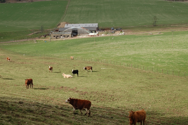 Cattle grazing by Eastfield