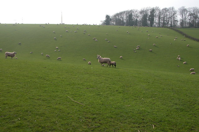 Sheep and Lambs Grazing