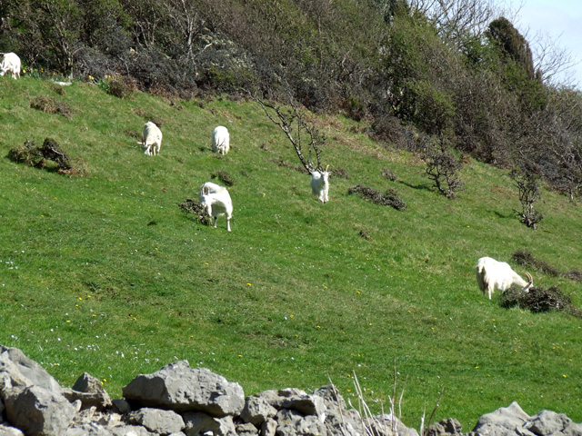 Wild Goats on the Great Orme