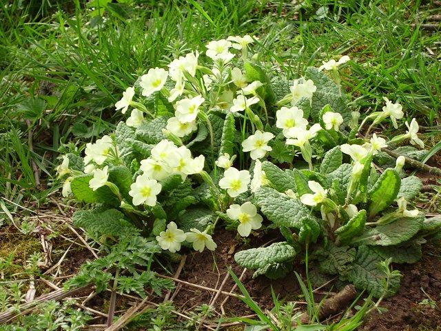 Primroses (Primula vulgaris)