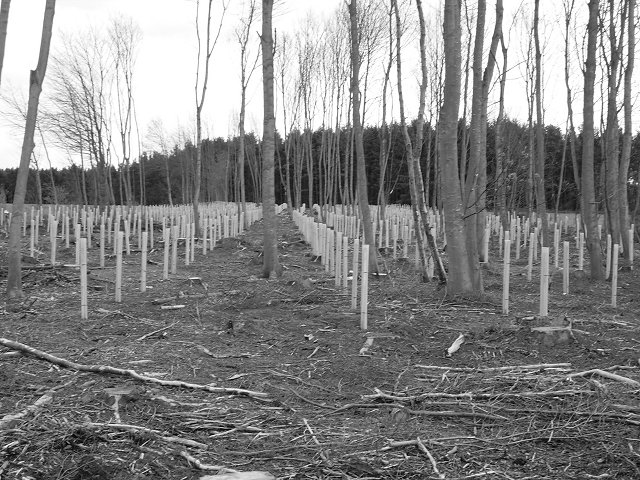 Replanting, Bowmont Forest